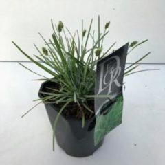 Plantenwinkel.nl Blauwgras (Sesleria caerulea) siergras - 6 stuks