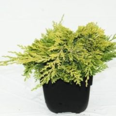 "Plantenwinkel.nl Kruipende jeneverbes (Juniperus horizontalis ""Golden Carpet"") conifeer - 6 stuks"