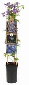 "Afbeelding van Plantenwinkel.nl Blauwe bosrank (Clematis ""Arabella"") klimplant - 4 stuks"