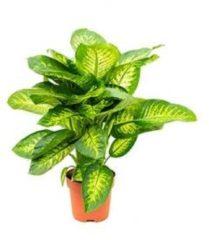 Plantenwinkel.nl Dieffenbachia seguine reeva kamerplant