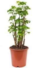 Plantenwinkel.nl Polyscias aralia roble S kamerplant