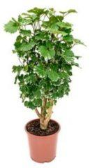 Plantenwinkel.nl Polyscias aralia balforiana S kamerplant