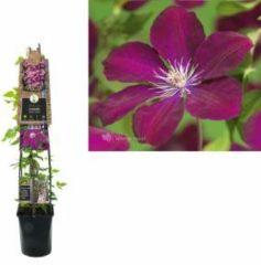 "Plantenwinkel.nl Rode bosrank (Clematis ""Rouge Cardinal"") klimplant - 120 cm - 1 stuks"