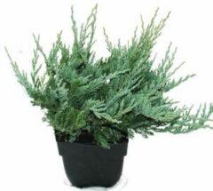 "Plantenwinkel.nl Kruipende jeneverbes (Juniperus horizontalis ""Blue Chip"") conifeer - 6 stuks"