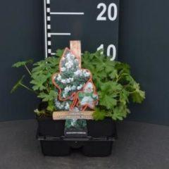 """Plantenwinkel.nl Ooievaarsbek (geranium cantabrigiense """"Biokovo"""") bodembedekker - 4-pack - 1 stuks"""