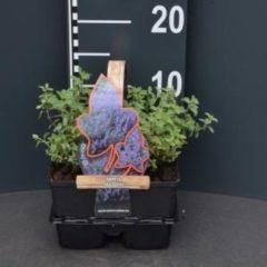 Plantenwinkel.nl Kattenkruid (nepeta faassenii) bodembedekker - 4-pack - 1 stuks