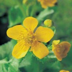 Moerings waterplanten Dotterbloem (Caltha palustris) moerasplant - 6 stuks
