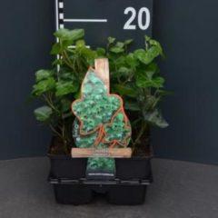 Plantenwinkel.nl Klimop (hedera hibernica) bodembedekker - 4-pack - 1 stuks