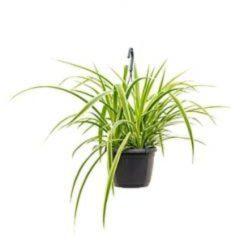 Plantenwinkel.nl Chlorophytum laxum hangplant
