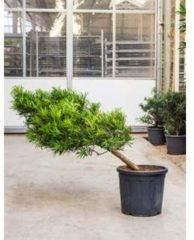 Plantenwinkel.nl Podocarpus macrophyllus cascade bonsai kamerplant