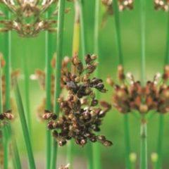 Moerings waterplanten Mattenbies (Scirpus lacustris) moerasplant - 6 stuks