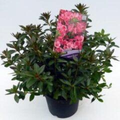 """Plantenwinkel.nl Rododendron (Rhododendron Japonica """"Madame van Hecke"""") heester - 3 stuks"""