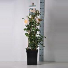 """Plantenwinkel.nl Engelse klimroos (rosa """"Emanuel""""®)"""