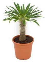 Plantenwinkel.nl Pachypodium Palm lamerei M kamerplant