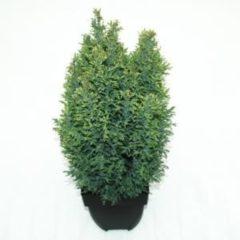 "Plantenwinkel.nl Schijncipres (Chamaecyparis lawsoniana ""Snow White"") conifeer - 6 stuks"