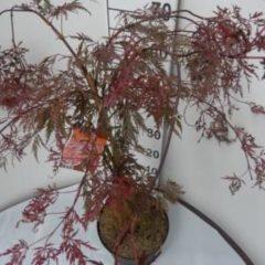 """Plantenwinkel.nl Japanse esdoorn (Acer palmatum """"Crimson Queen"""") heester - 30-40 cm - 8 stuks"""