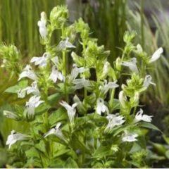 """Moerings waterplanten Witte Virginische lobelia (Lobelia siphilitica """"Alba"""") moerasplant - 6 stuks"""