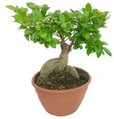 Plantenwinkel.nl Ficus microcarpa ginseng Bonsai du Bonzwaze kamerplant