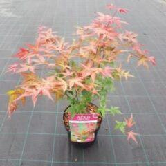 "Plantenwinkel.nl Japanse esdoorn (Acer palmatum ""Beni-Maiko"") heester - 3 stuks"