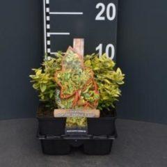 "Plantenwinkel.nl Kardinaalsmuts (euonymus fortunei ""Emerald 'n Gold"") bodembedekker - 4-pack - 1 stuks"