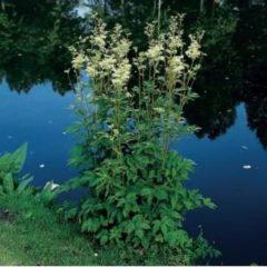Moerings waterplanten Moerasspirea (Filipendula ulmaria) moerasplant - 6 stuks
