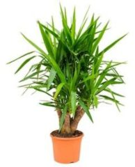 Plantenwinkel.nl Yucca elephantipes vertakt L kamerplant