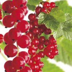 """Plantenwinkel.nl Rode bes (ribes rubrum """"Jonkheer van Tets"""") fruitplanten - In 2 liter pot - 1 stuks"""