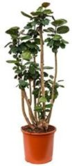 Plantenwinkel.nl Polyscias aralia fabian XL kamerplant