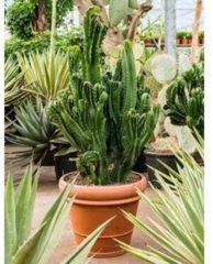 Plantenwinkel.nl Euphorbia cactus ingens cristata kamerplant