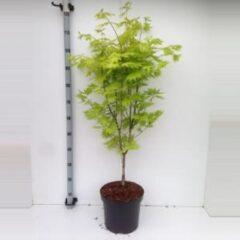 "Plantenwinkel.nl Japanse esdoorn (Acer shirasawanum ""Jordan"") heester - 70+ cm - 5 stuks"