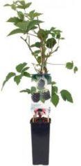 """Plantenwinkel.nl Braam (rubus fruticosus """"Navaho"""") fruitplanten - 5 stuks"""