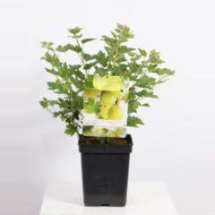 """Plantenwinkel.nl Groene kruisbes (ribes uva crispa """"Hinnonmäki Grön"""") fruitplanten - In 5 liter pot - 1 stuks"""