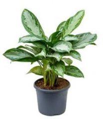 Plantenwinkel.nl Aglaonema silver bay S kamerplant