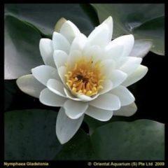 Moerings waterplanten Witte waterlelie (Nymphaea Gladstoniana) waterlelie - 6 stuks