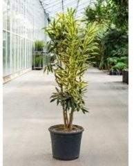 Plantenwinkel.nl Dracaena Pleomele song of sri lanka kamerplant