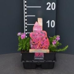 "Plantenwinkel.nl Kruipphlox (phlox subulata ""Atropurpurea"") bodembedekker - 4-pack - 1 stuks"
