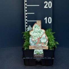 "Plantenwinkel.nl Klokjesbloem (campanula carpatica ""White Clips"") bodembedekker - 6-pack - 1 stuks"