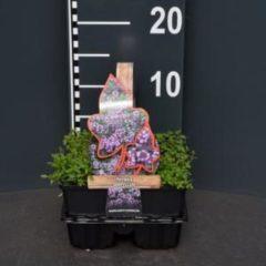 Plantenwinkel.nl Kleine tijm (thymus serpyllum) bodembedekker - 4-pack - 1 stuks