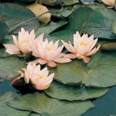 Moerings waterplanten Roze waterlelie (Nymphaea Marliacea Carnea) waterlelie - 6 stuks