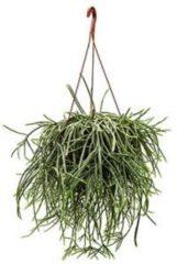 Plantenwinkel.nl Rhipsalis horrida M hangplant