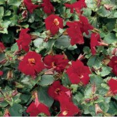 """Moerings waterplanten Rode maskerbloem (Mimulus """"Bonfire red"""") moerasplant - 6 stuks"""