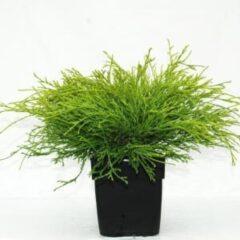 """Plantenwinkel.nl Schijncipres (Chamaecyparis pisifera """"Filifera Aurea"""") conifeer - 6 stuks"""