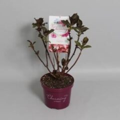 "Plantenwinkel.nl Hydrangea Macrophylla ""Charming® Sophia Pink""® boerenhortensia - 25-30 cm - 1 stuks"