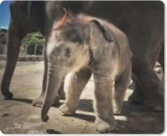 MousePadParadise Muismat Baby olifant - Baby olifant bij zijn moeder muismat rubber - 23x19 cm - Muismat met foto