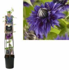 "Plantenwinkel.nl Blauwe bosrank (Clematis ""Multi Blue"") klimplant - 120 cm - 1 stuks"