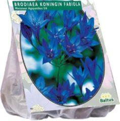 Baltus Miniatuur Agapanthus bloembollen - Brodiaea Koningin Fabiola - 2 x 100 stuks
