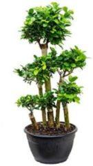 Plantenwinkel.nl Ficus microcarpa compacta bonsai forrest kamerplant