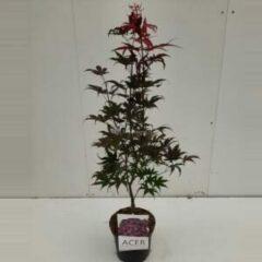 "Plantenwinkel.nl Japanse esdoorn (Acer palmatum ""Bloodgood"") heester - 60-70 cm - 1 stuks"