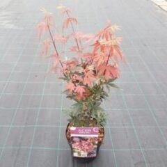 "Plantenwinkel.nl Japanse esdoorn (Acer palmatum ""Skeeter's Broom"") heester - 3 stuks"