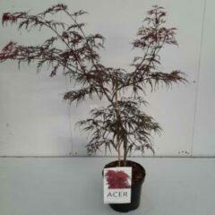 "Plantenwinkel.nl Japanse esdoorn (Acer palmatum ""Garnet"") heester - 40-50 cm - 1 stuks"